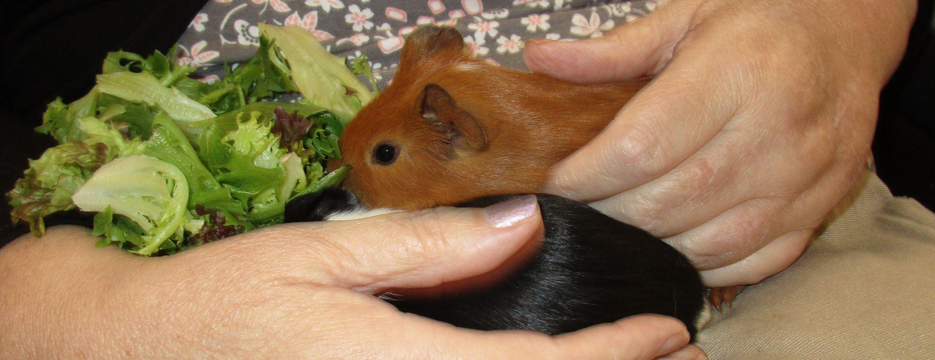 Guinea Pig feeding time.